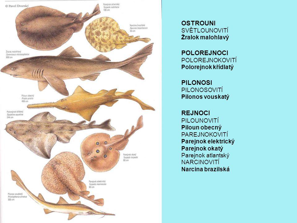 OSTROUNI SVĚTLOUNOVITÍ Žralok malohlavý POLOREJNOCI POLOREJNOKOVITÍ Polorejnok křídlatý PILONOSI PILONOSOVITÍ Pilonos vouskatý REJNOCI PILOUNOVITÍ Piloun obecný PAREJNOKOVITÍ Parejnok elektrický Parejnok okatý Parejnok atlantský NARCINOVITÍ Narcina brazilská