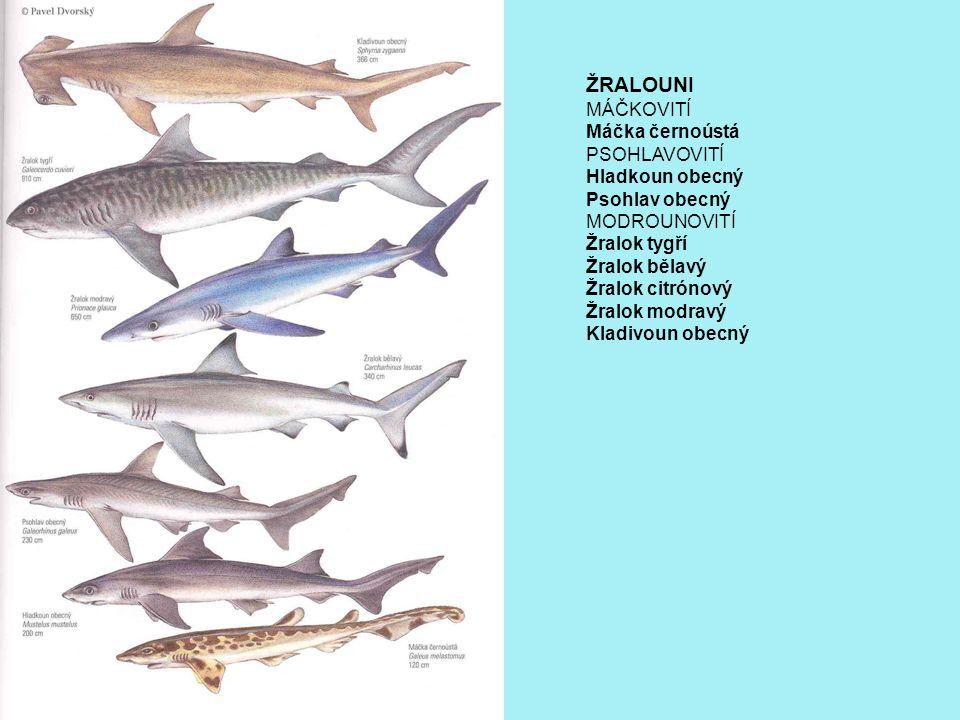ŽRALOUNI MÁČKOVITÍ Máčka černoústá PSOHLAVOVITÍ Hladkoun obecný Psohlav obecný MODROUNOVITÍ Žralok tygří Žralok bělavý Žralok citrónový Žralok modravý Kladivoun obecný