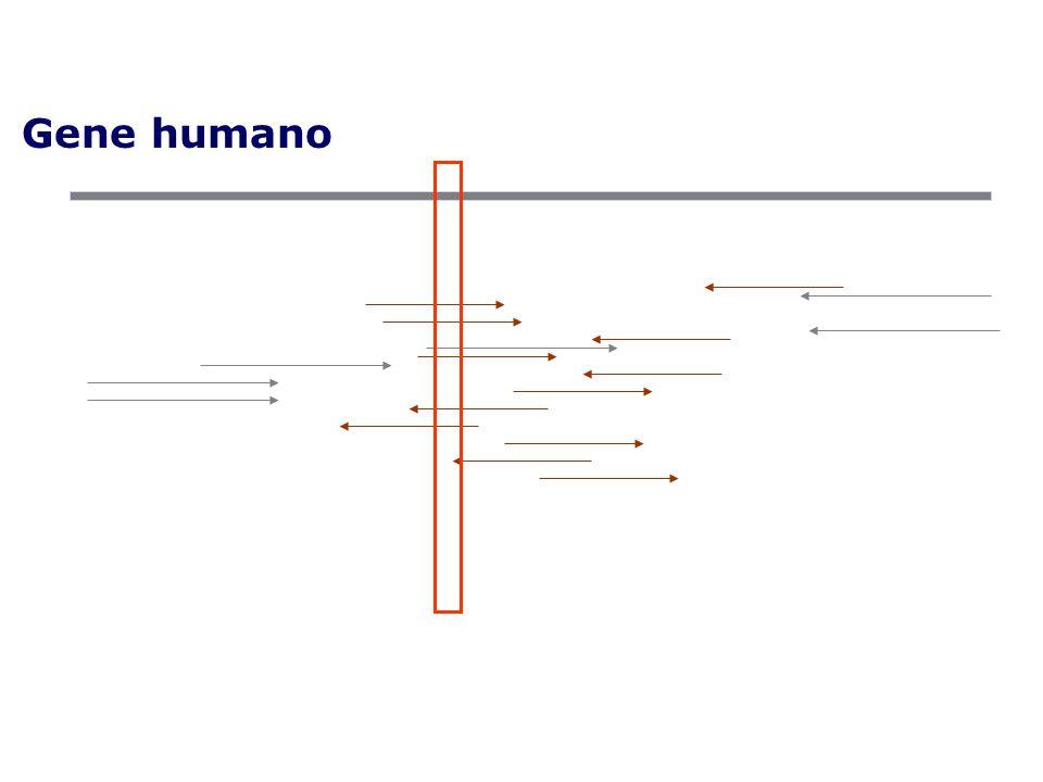 Gene humano