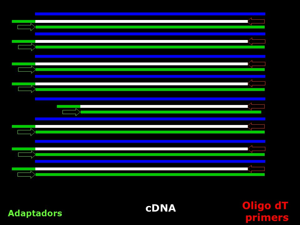 Oligo dT primers cDNA Adaptadors