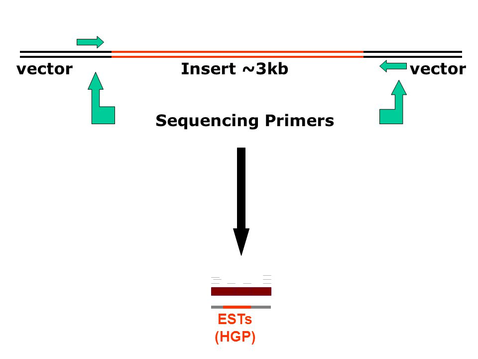 ESTs (HGP) vector Insert ~3kb Sequencing Primers