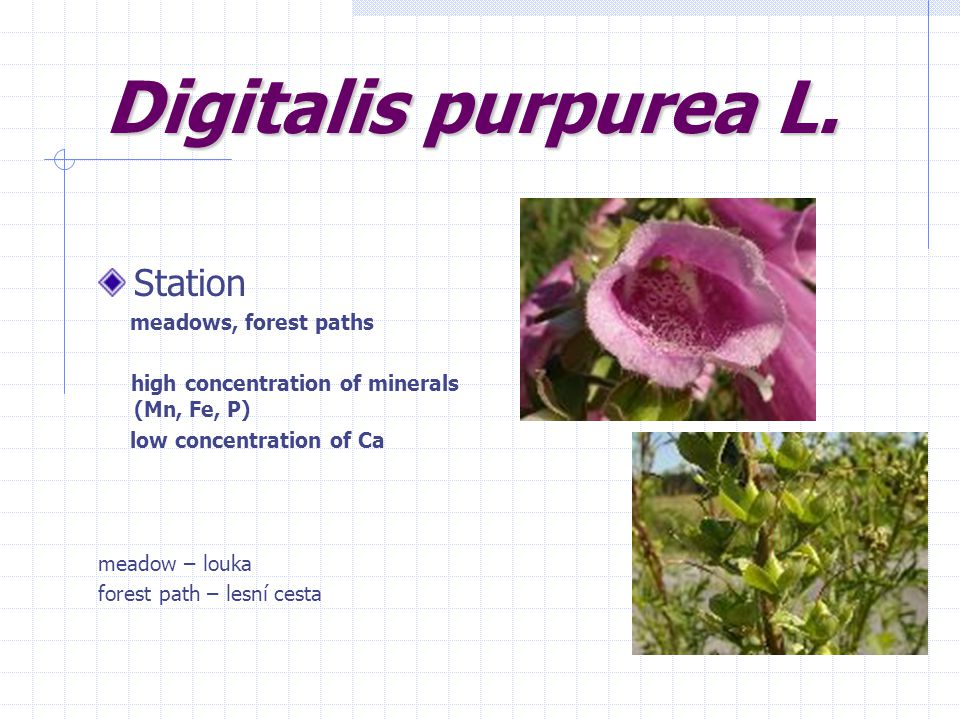 Digitalis purpurea L. Station meadows, forest paths high concentration of minerals (Mn, Fe, P) low concentration of Ca meadow – louka forest path – le