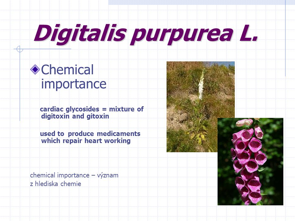 Digitalis purpurea L. Chemical importance cardiac glycosides = mixture of digitoxin and gitoxin used to produce medicaments which repair heart working