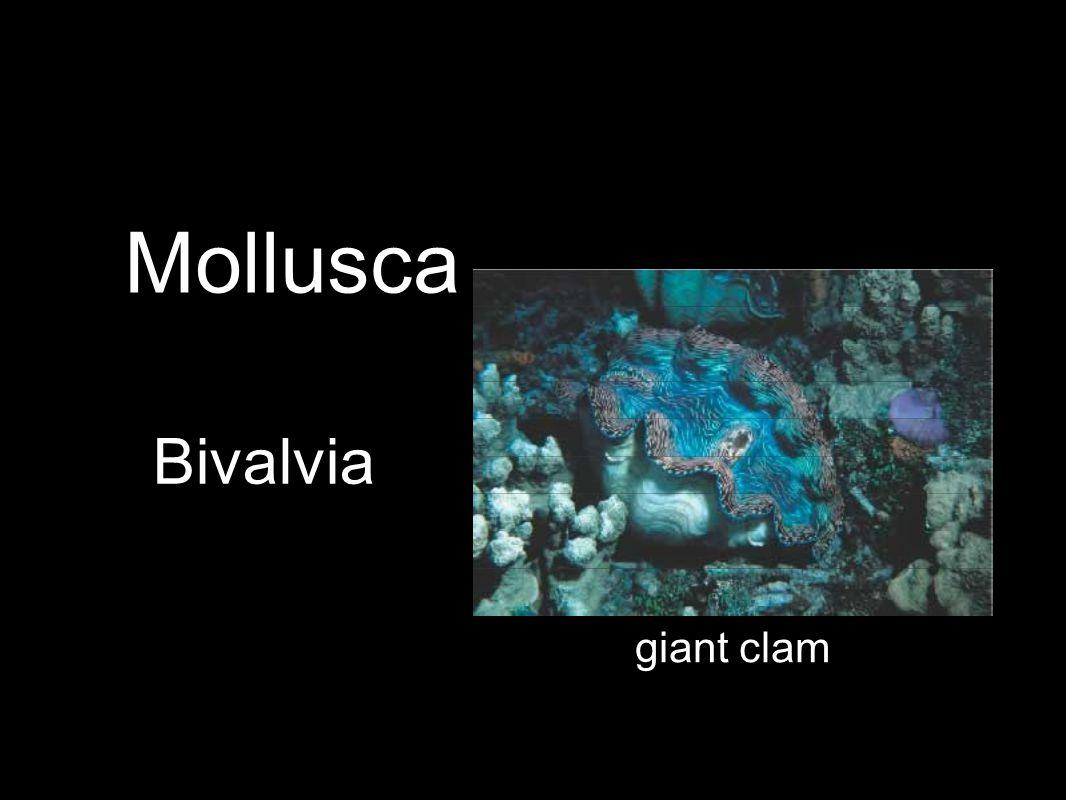 Bivalvia giant clam Mollusca
