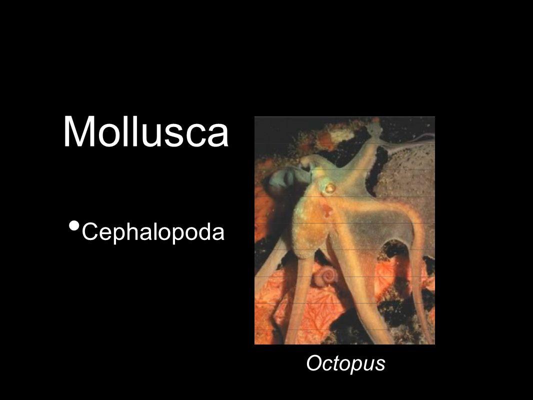 Cephalopoda Octopus Mollusca