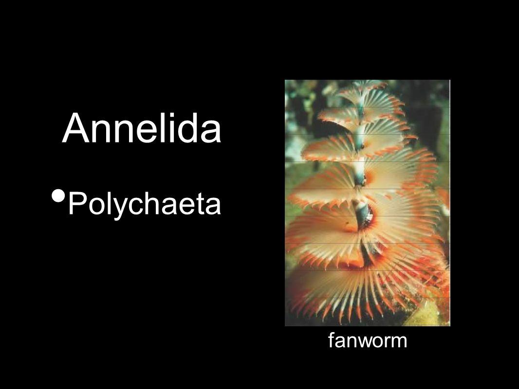 Annelida Polychaeta fanworm