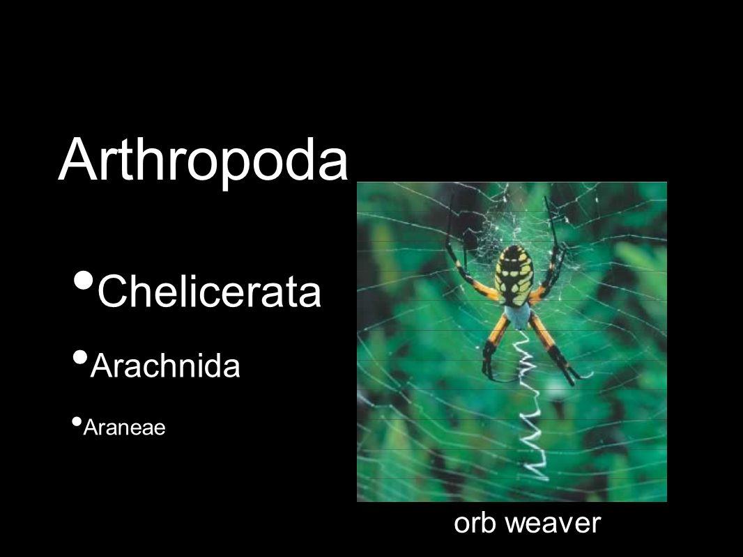 Chelicerata Arachnida Araneae orb weaver Arthropoda