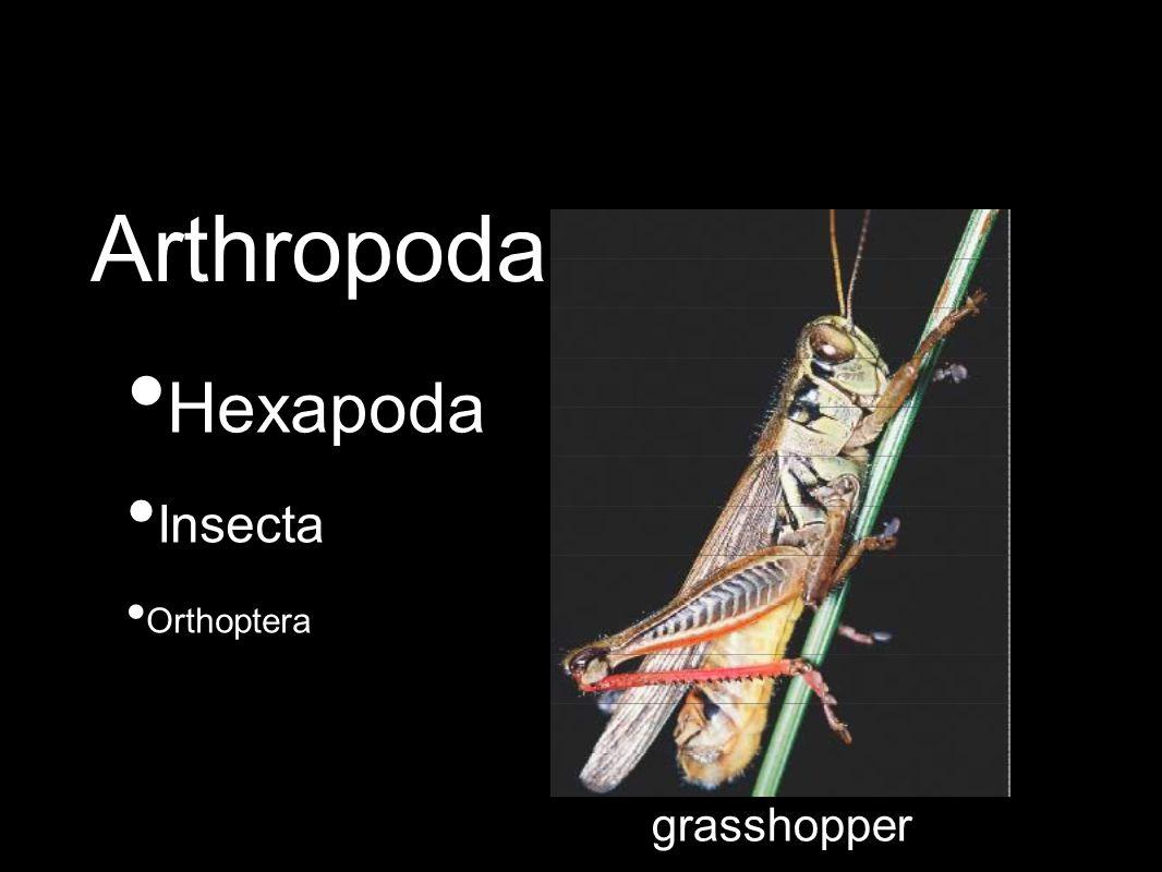 Hexapoda Insecta Orthoptera grasshopper Arthropoda