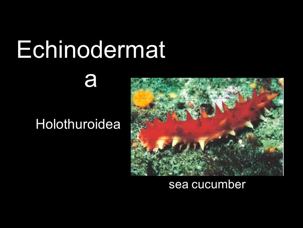 Holothuroidea sea cucumber Echinodermat a