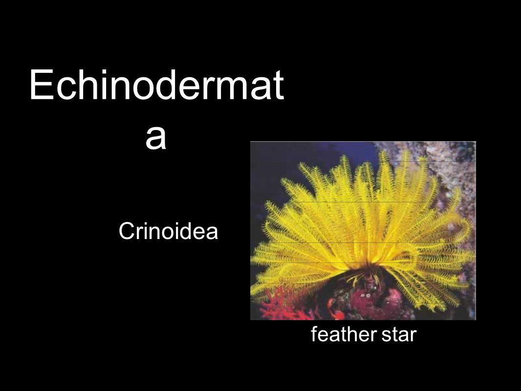 Crinoidea feather star Echinodermat a