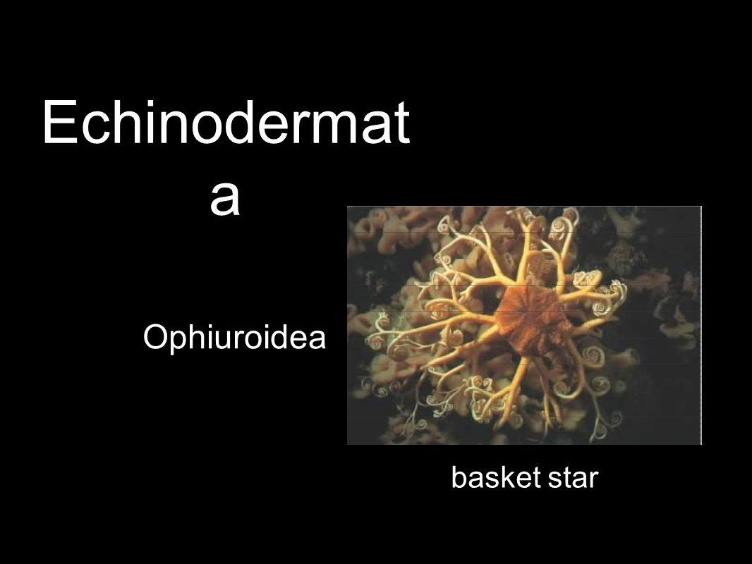 Ophiuroidea basket star Echinodermat a