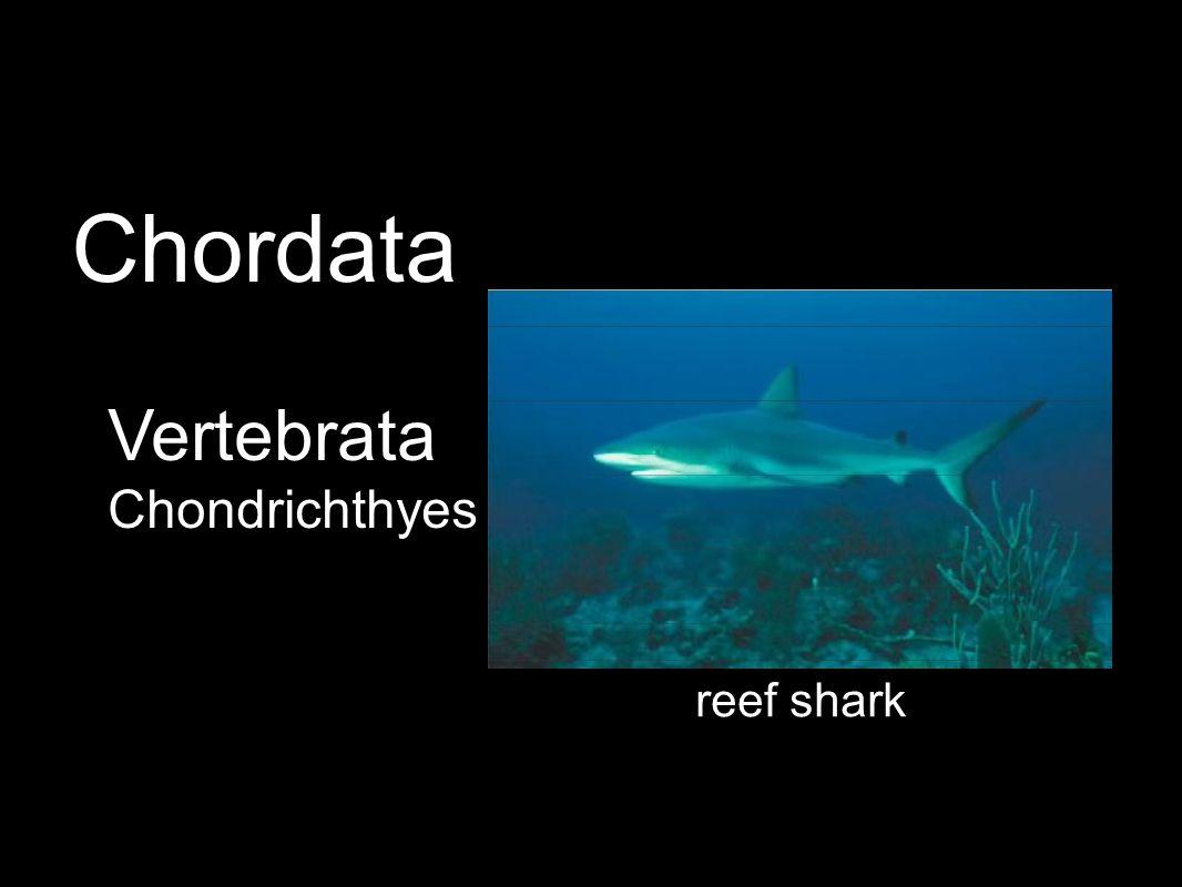 Vertebrata Chondrichthyes reef shark Chordata