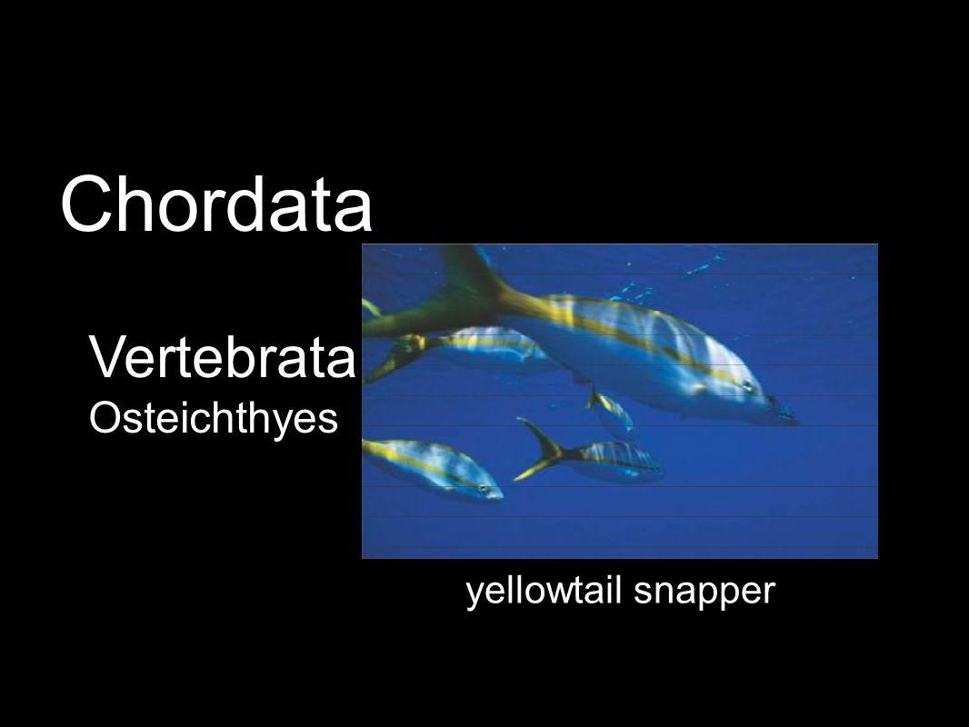 yellowtail snapper Vertebrata Osteichthyes Chordata