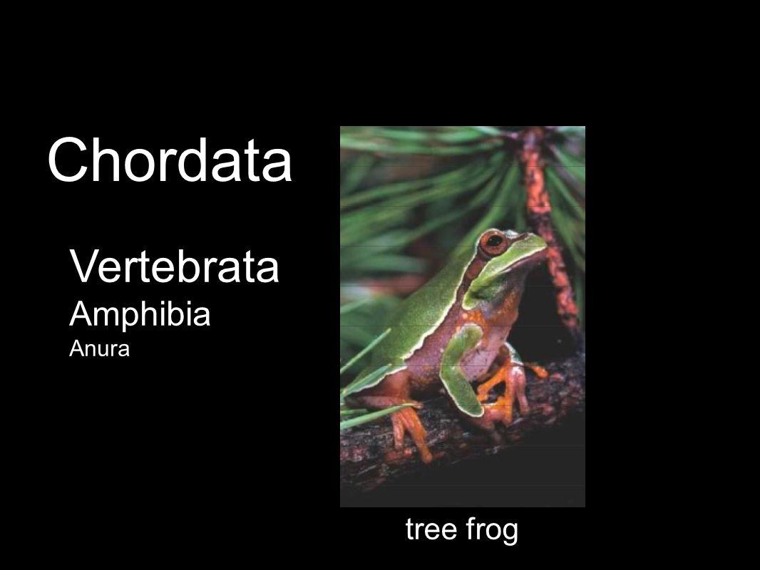 tree frog Vertebrata Amphibia Anura Chordata