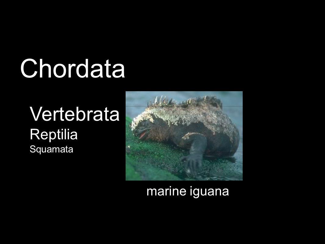 marine iguana Vertebrata Reptilia Squamata Chordata
