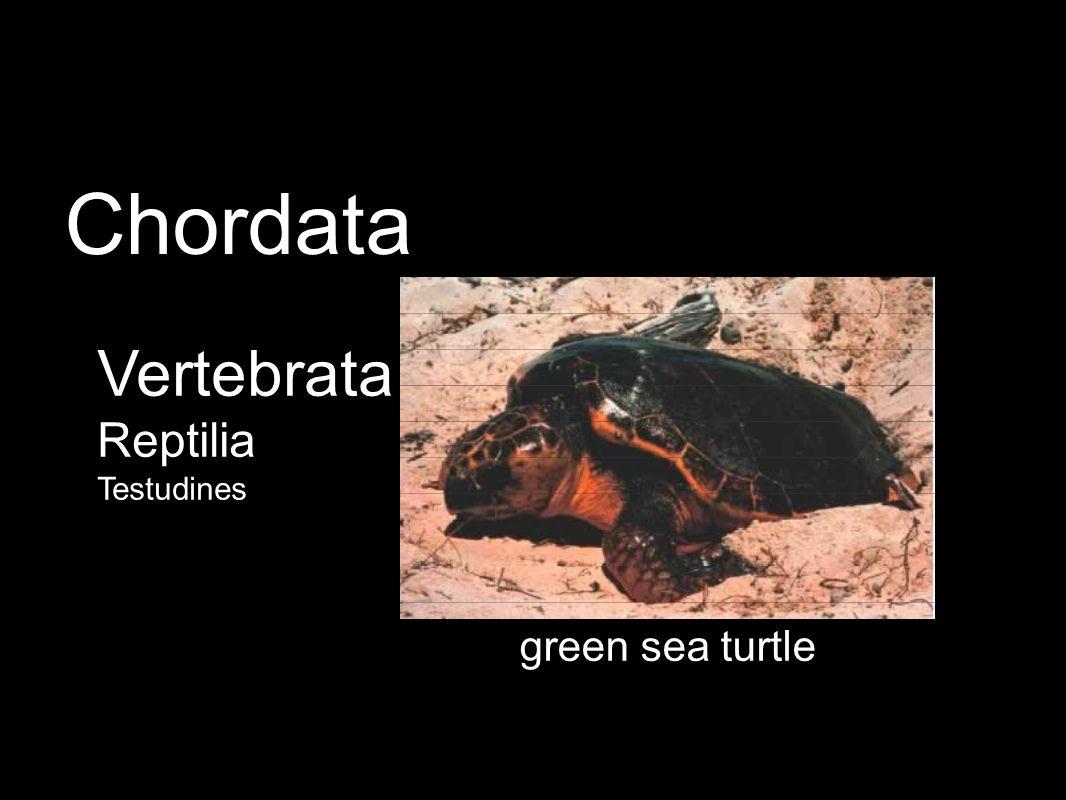 green sea turtle Vertebrata Reptilia Testudines Chordata
