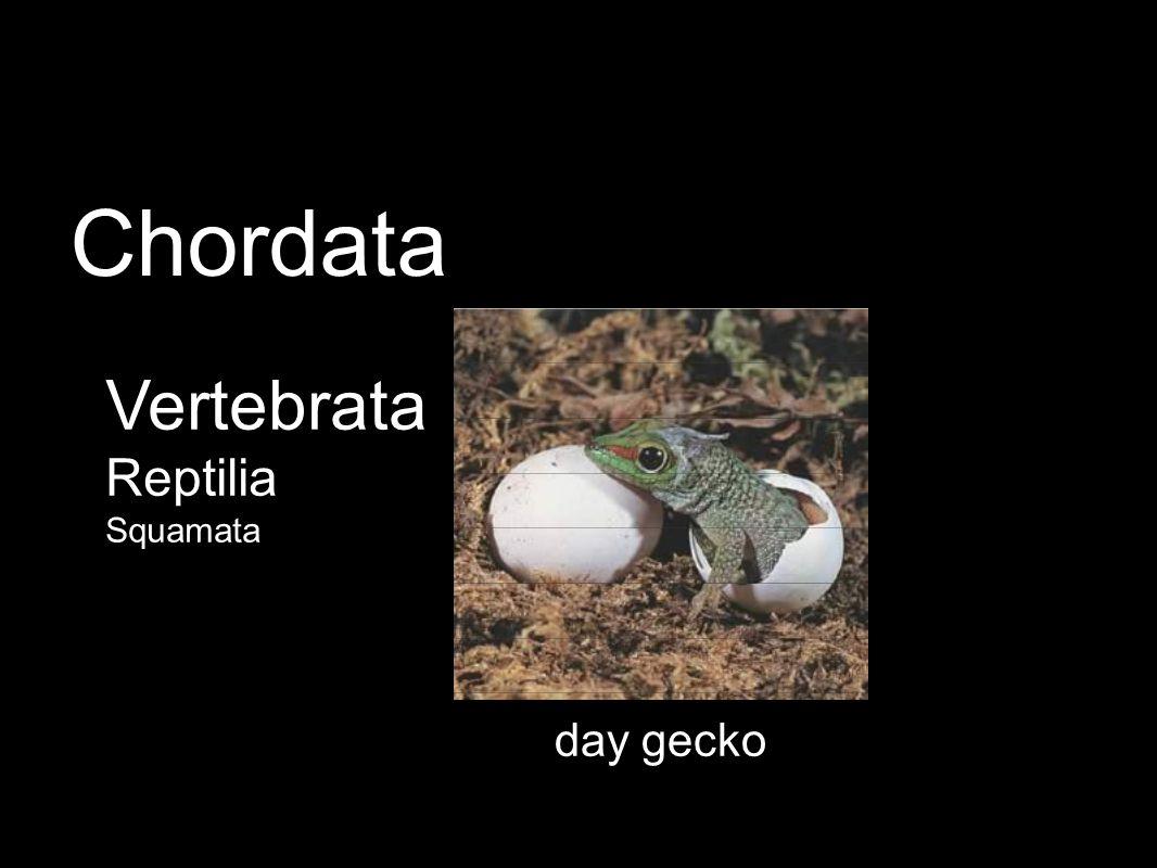 day gecko Vertebrata Reptilia Squamata Chordata