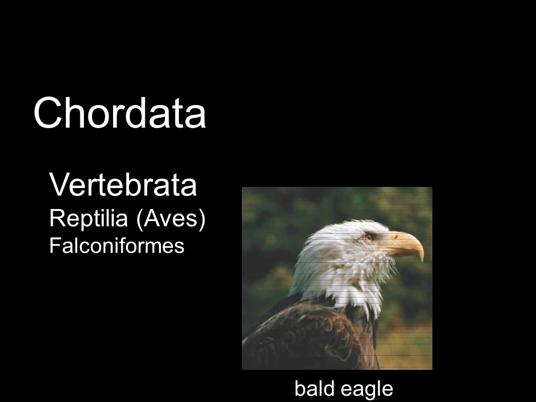 Vertebrata Reptilia (Aves) Falconiformes Chordata bald eagle