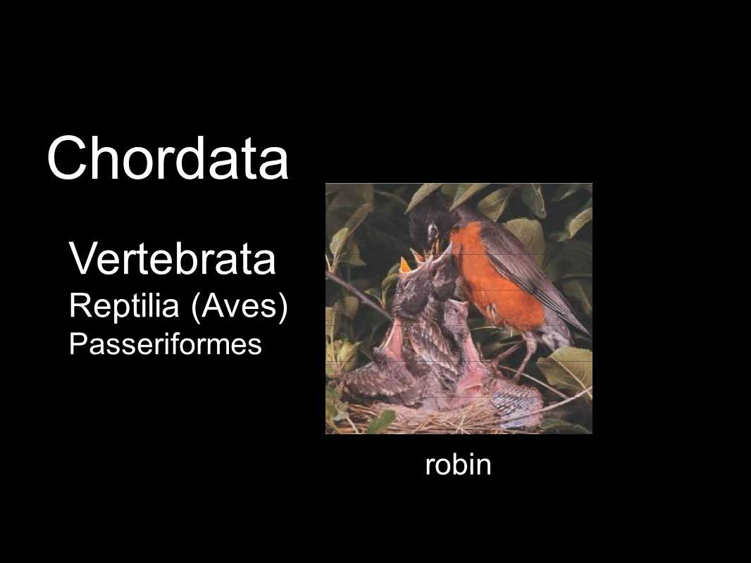 robin Vertebrata Reptilia (Aves) Passeriformes Chordata