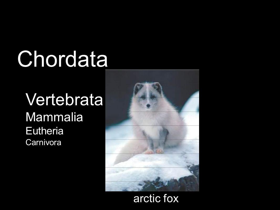 arctic fox Vertebrata Mammalia Eutheria Carnivora Chordata
