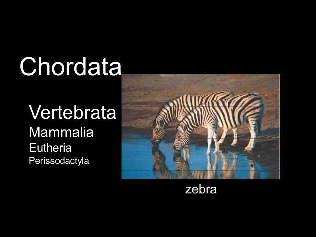 zebra Vertebrata Mammalia Eutheria Perissodactyla Chordata