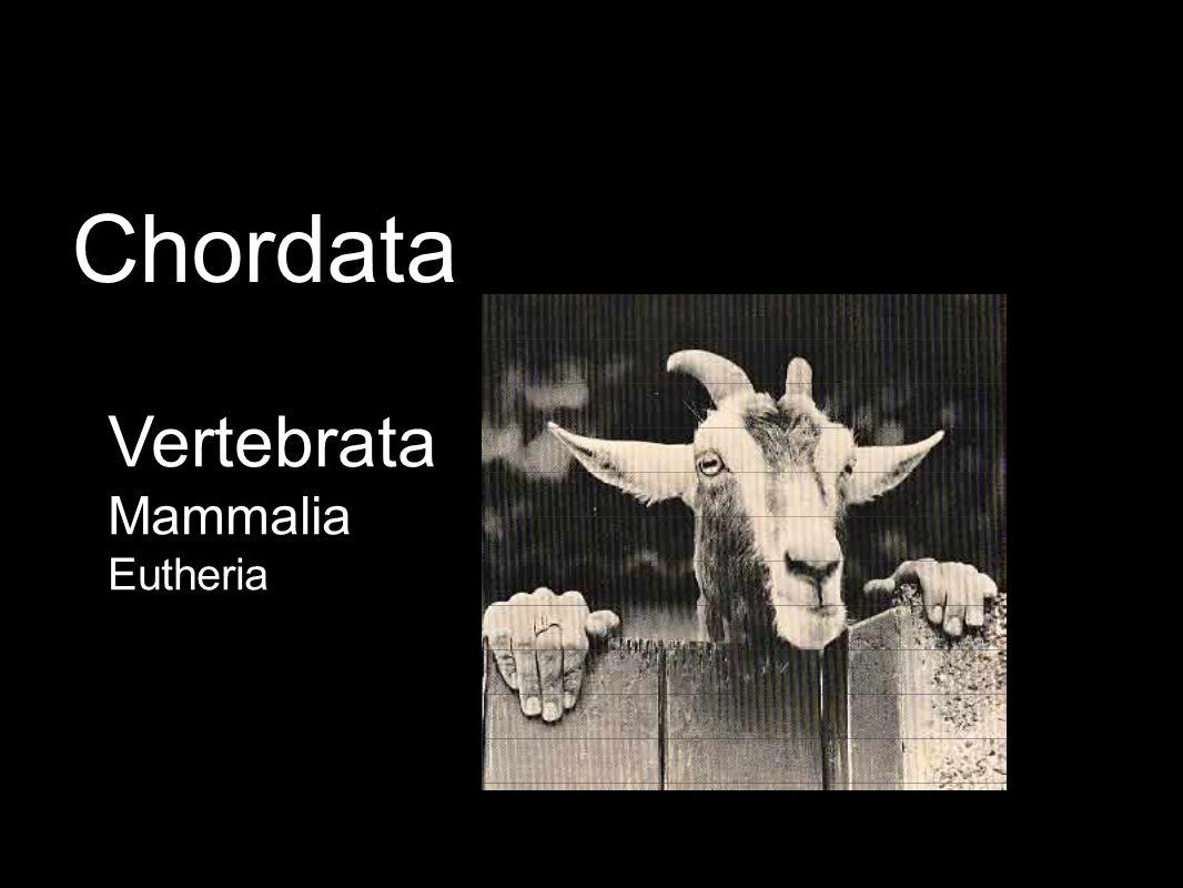 Vertebrata Mammalia Eutheria Chordata