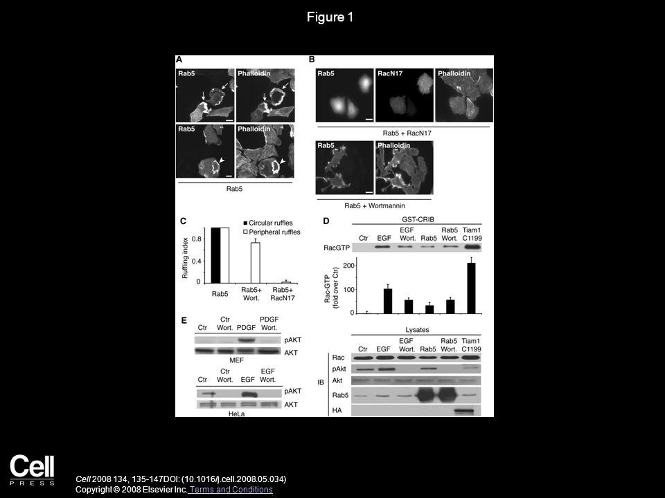 Figure 1 Cell 2008 134, 135-147DOI: (10.1016/j.cell.2008.05.034) Copyright © 2008 Elsevier Inc.