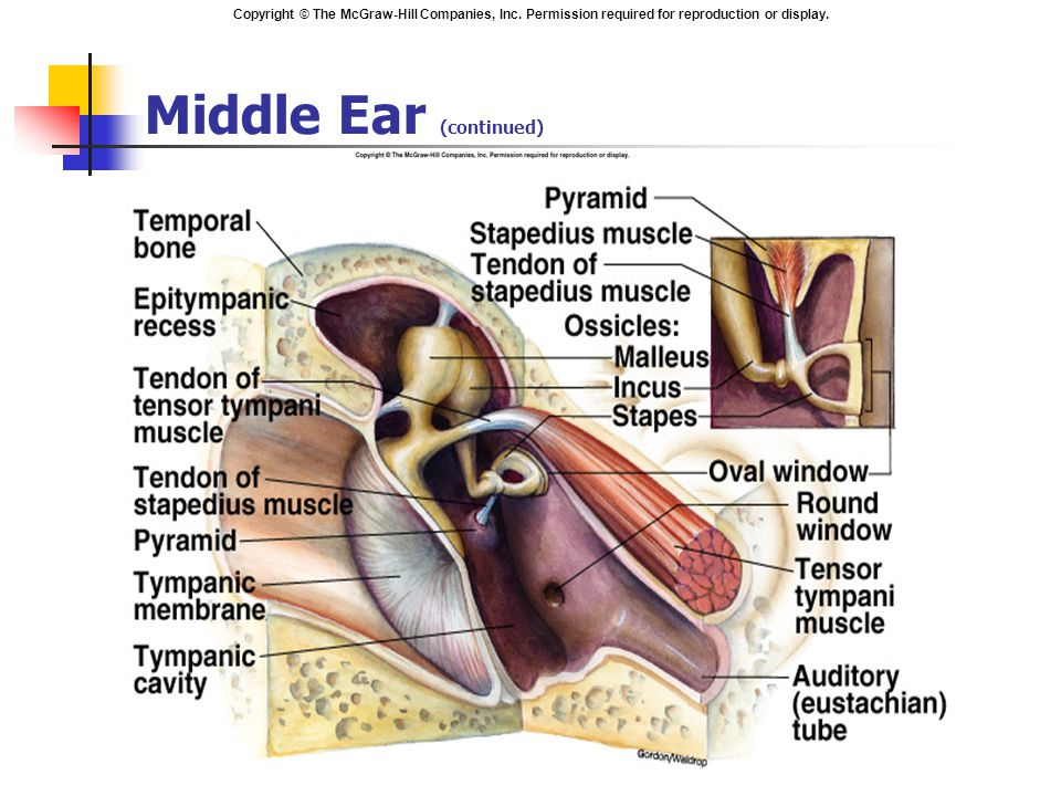 Copyright © The McGraw-Hill Companies, Inc. Permission required for reproduction or display. Middle Ear (continued)