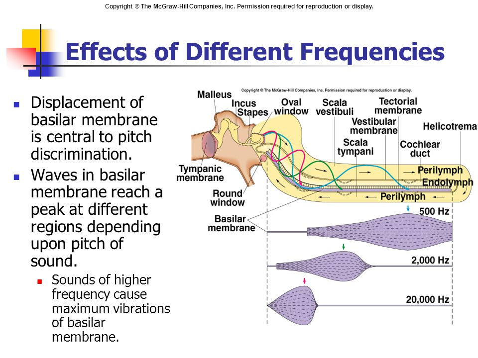 Copyright © The McGraw-Hill Companies, Inc. Permission required for reproduction or display. Effects of Different Frequencies Displacement of basilar