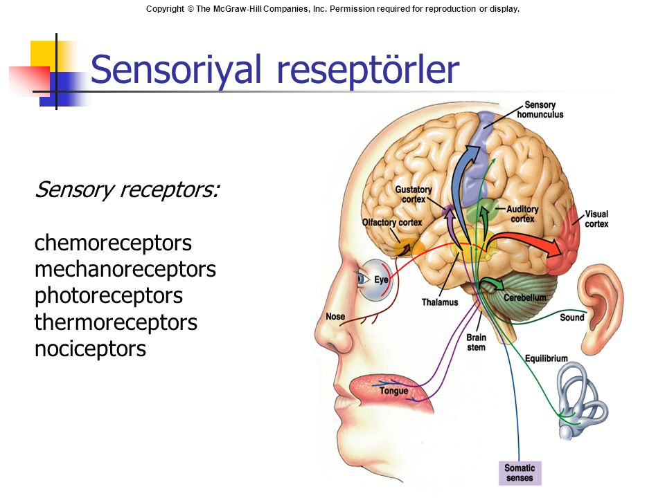 Copyright © The McGraw-Hill Companies, Inc. Permission required for reproduction or display. Sensoriyal reseptörler Sensory receptors: chemoreceptors