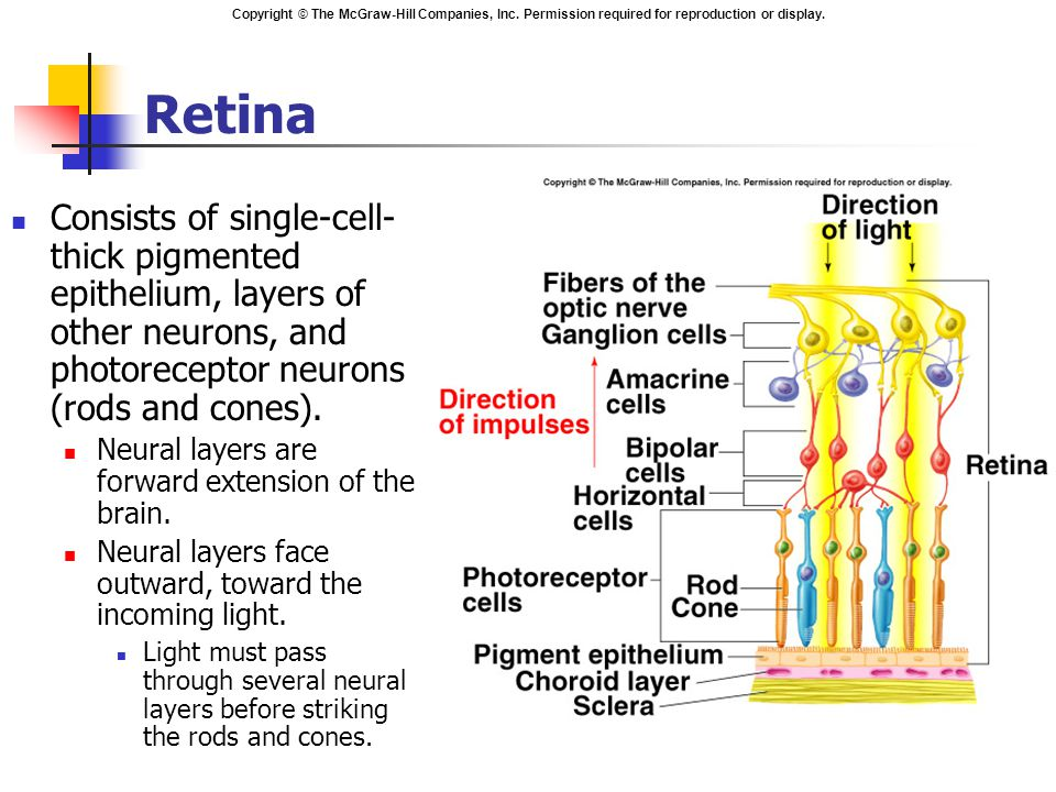 Copyright © The McGraw-Hill Companies, Inc. Permission required for reproduction or display. Retina Consists of single-cell- thick pigmented epitheliu