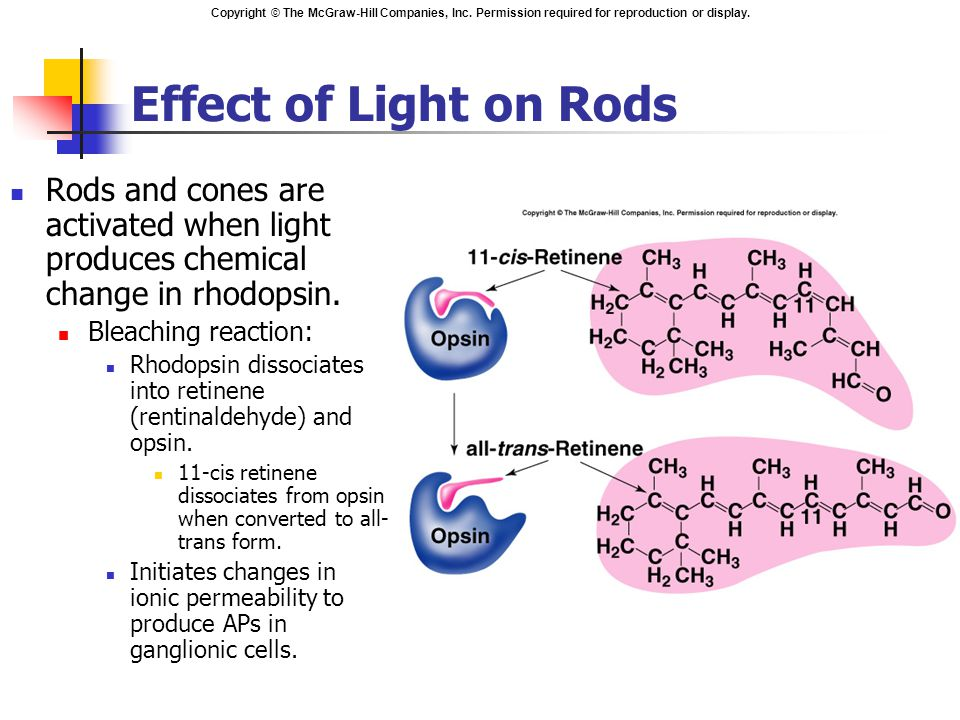 Copyright © The McGraw-Hill Companies, Inc. Permission required for reproduction or display. Effect of Light on Rods Rods and cones are activated when