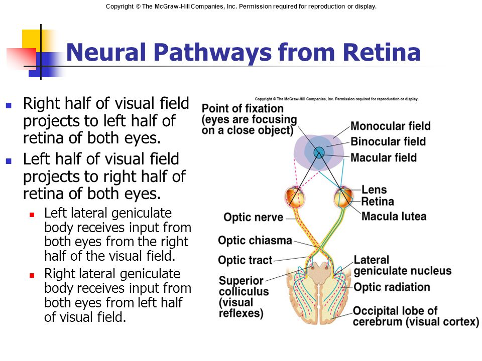Copyright © The McGraw-Hill Companies, Inc. Permission required for reproduction or display. Neural Pathways from Retina Right half of visual field pr