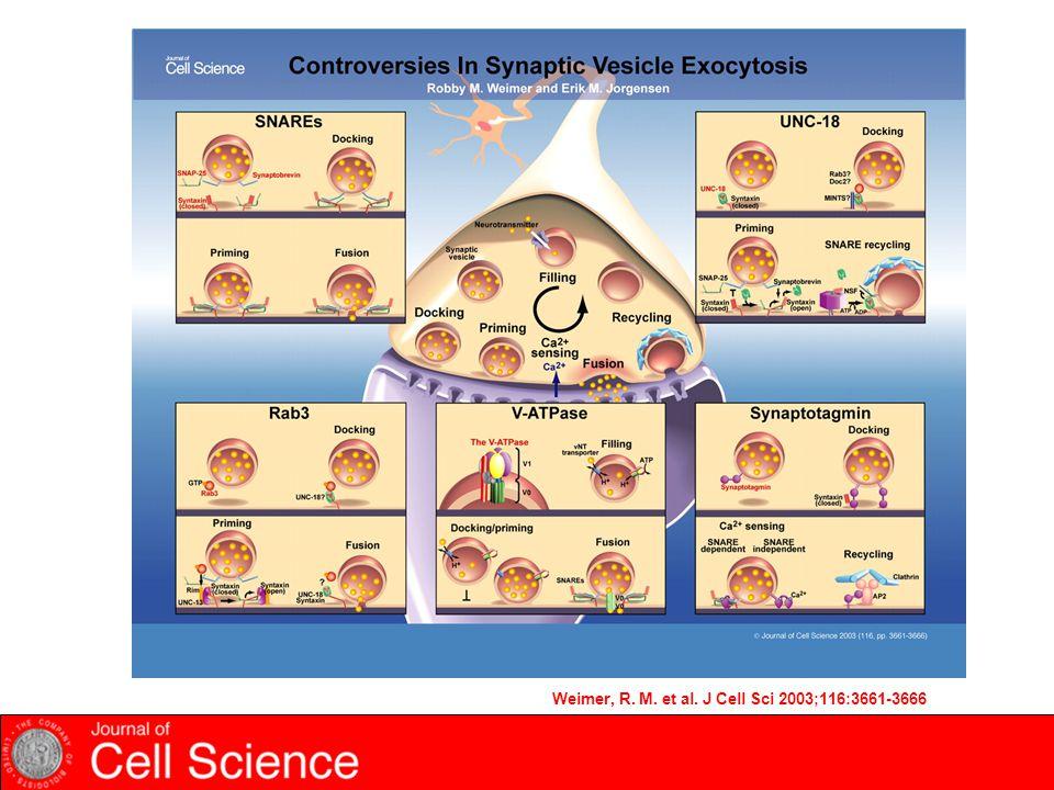 Weimer, R. M. et al. J Cell Sci 2003;116:3661-3666