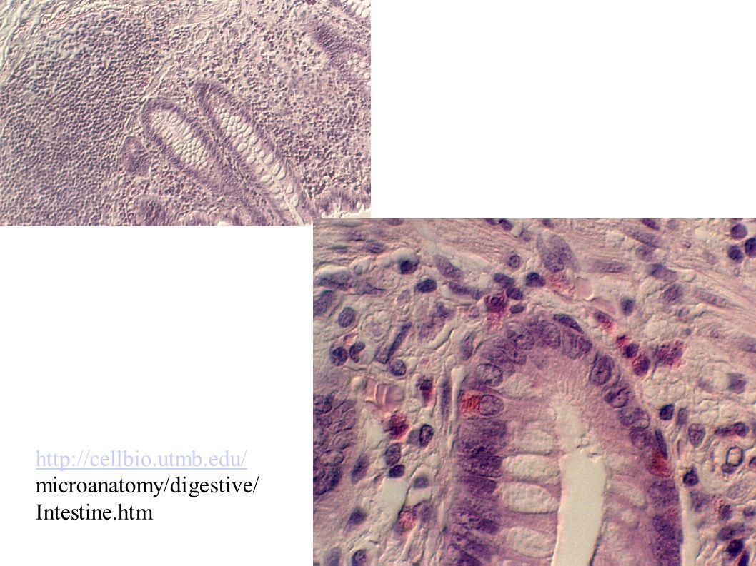 http://cellbio.utmb.edu/ microanatomy/digestive/ Intestine.htm