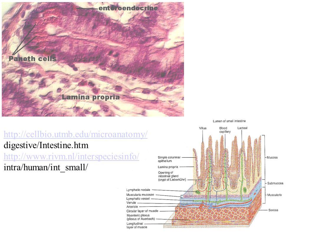 http://cellbio.utmb.edu/microanatomy/ digestive/Intestine.htm http://www.rivm.nl/interspeciesinfo/ intra/human/int_small/