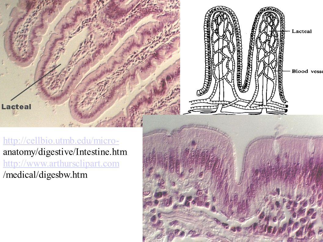http://cellbio.utmb.edu/micro- anatomy/digestive/Intestine.htm http://www.arthursclipart.com /medical/digesbw.htm
