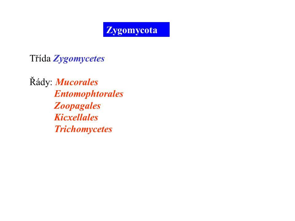 Zygomycota Třída Zygomycetes Řády: Mucorales Entomophtorales Zoopagales Kicxellales Trichomycetes