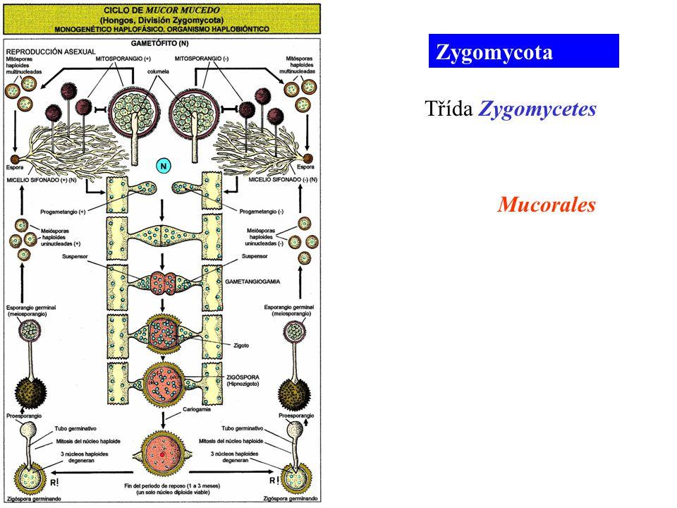 Zygomycota Mucorales Třída Zygomycetes