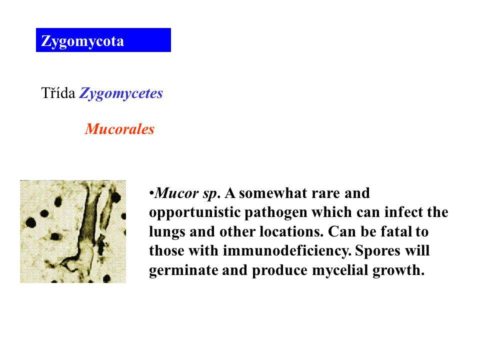 Mucor sp.