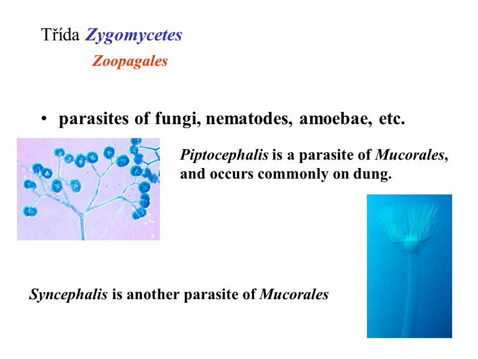 parasites of fungi, nematodes, amoebae, etc.