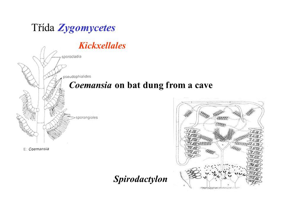 Coemansia on bat dung from a cave Spirodactylon Třída Zygomycetes Kickxellales