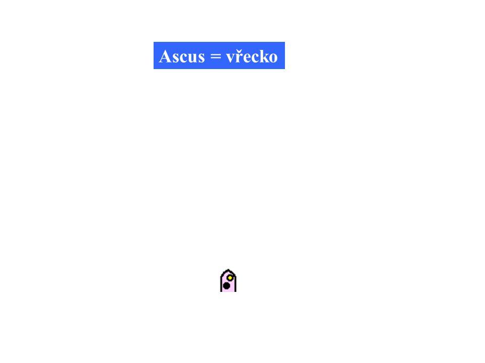 Ascus = vřecko