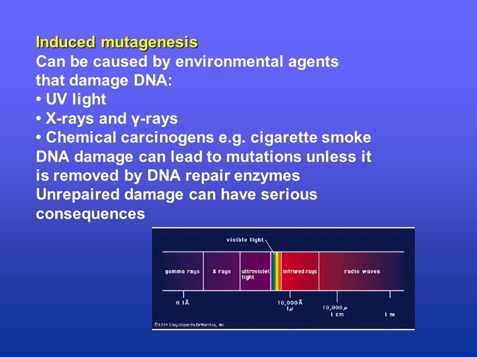 Induced mutagenesis Can be caused by environmental agents that damage DNA: UV light X-rays and γ-rays Chemical carcinogens e.g.