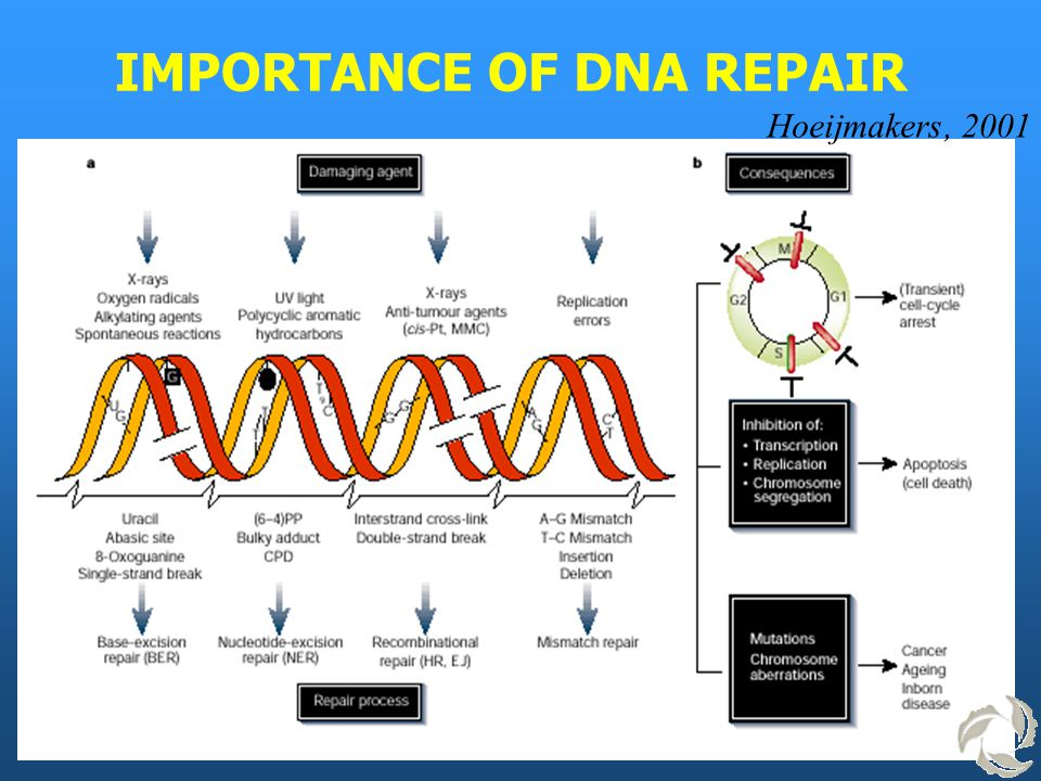 IMPORTANCE OF DNA REPAIR Hoeijmakers, 2001