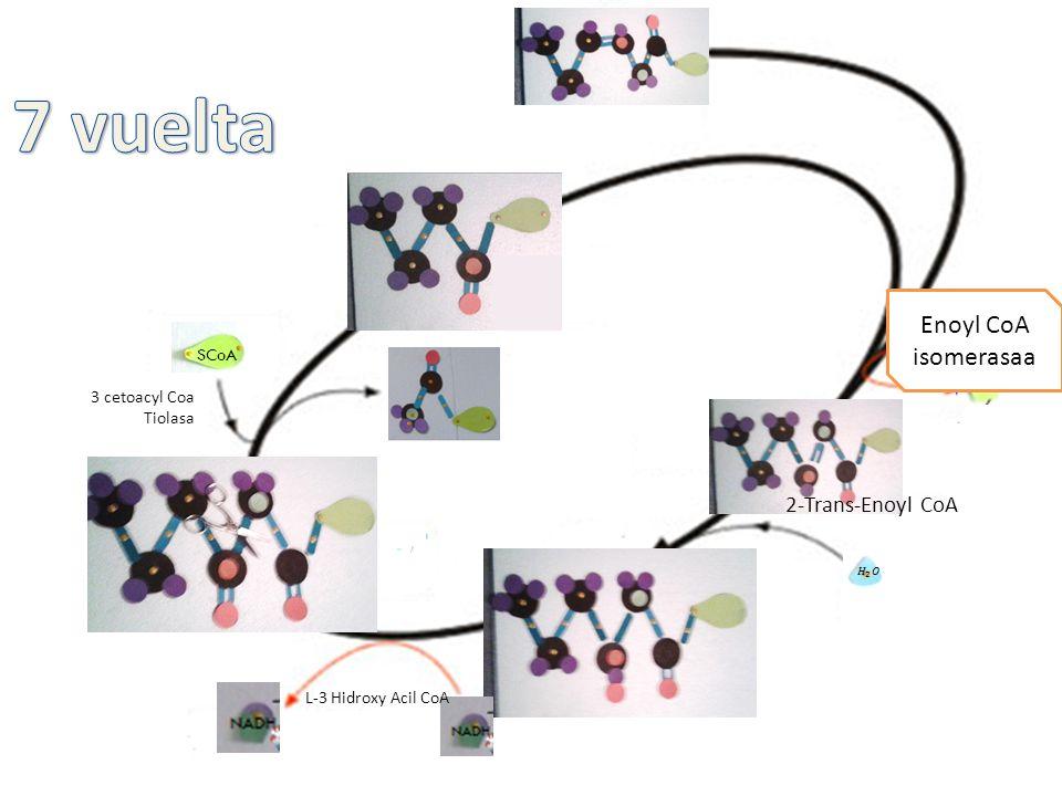 Acil CoA deshidrogenasa 2-Trans-Enoyl CoA L-3 Hidroxy Acil CoA 3 cetoacyl Coa Tiolasa