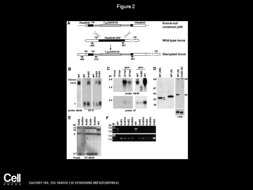 Figure 2 Cell 2001 104, 153-164DOI: (10.1016/S0092-8674(01)00199-4)