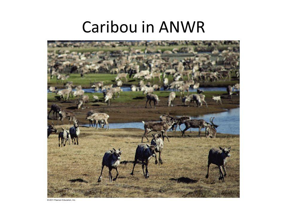 Caribou in ANWR