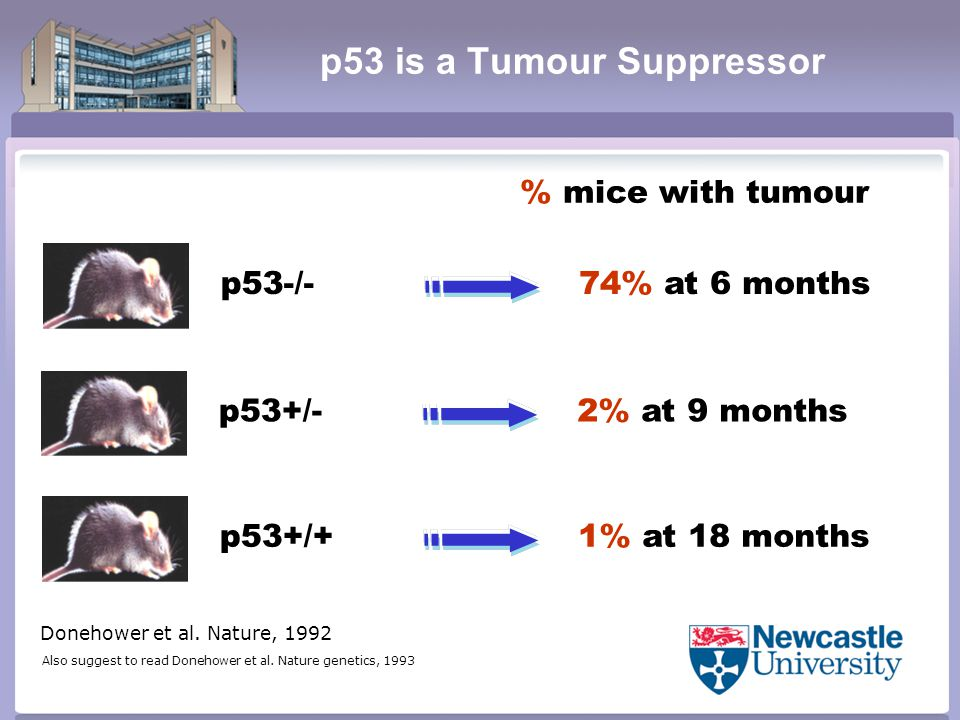 p53 is a Tumour Suppressor p53+/+ p53+/- p53-/- 1% at 18 months % mice with tumour 74% at 6 months 2% at 9 months Donehower et al.