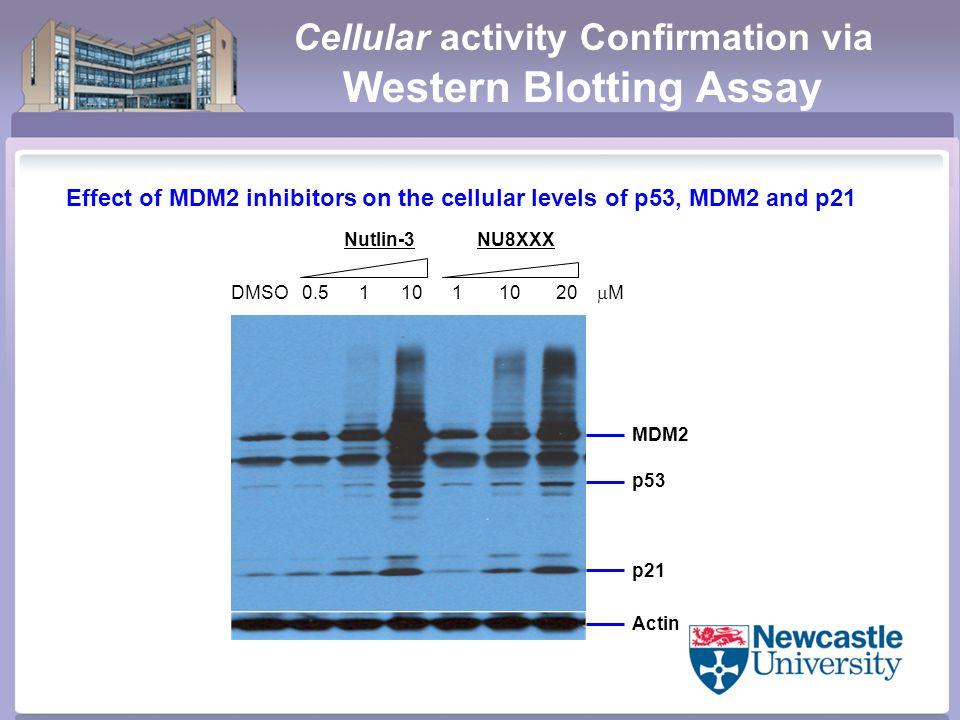 Cellular activity Confirmation via Western Blotting Assay Effect of MDM2 inhibitors on the cellular levels of p53, MDM2 and p21 Nutlin-3NU8XXX MDM2 p53 p21 Actin DMSO 0.5 1 10 1 10 20  M